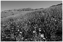 Slopes covered by thick Desert Gold flowers and mountains, Ashford Mill area, early morning. Death Valley National Park, California, USA. (black and white)