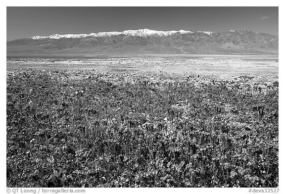 Purple Phacelia and Panamint Range, morning. Death Valley National Park (black and white)