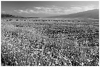 Valley and rare desert blooms, late afternoon. Death Valley National Park, California, USA. (black and white)
