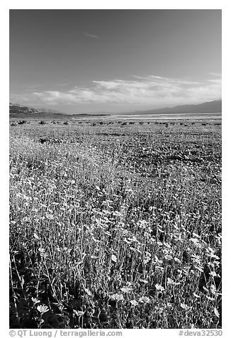 Valley and rare carpet of Desert Gold wildflowers, late afternoon. Death Valley National Park (black and white)