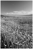 Valley and rare carpet of Desert Gold wildflowers, late afternoon. Death Valley National Park ( black and white)