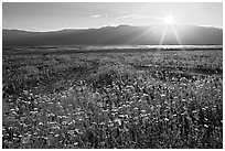 Desert wildflowers and sun, late afternoon. Death Valley National Park, California, USA. (black and white)