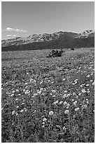 Desert blooms and distant mountains, sunset. Death Valley National Park, California, USA. (black and white)