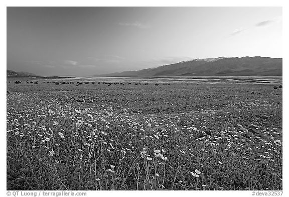 Valley and Desert Gold wildflowers, sunset. Death Valley National Park (black and white)