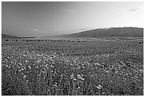 Valley and Desert Gold wildflowers, sunset. Death Valley National Park, California, USA. (black and white)