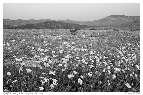 Yellow wildflowers and mountains, dusk. Death Valley National Park (black and white)