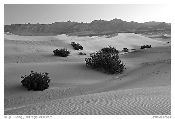 Mesquite bushes and sand dunes, dawn. Death Valley National Park (black and white)
