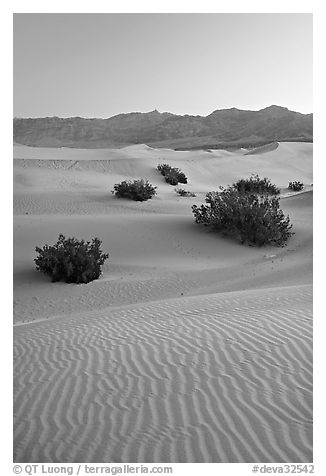 Ripples, mesquite on sand dunes, dawn. Death Valley National Park (black and white)