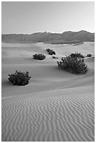 Ripples, mesquite on sand dunes, dawn. Death Valley National Park, California, USA. (black and white)