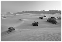 Sand dunes and mesquite bushes, dawn. Death Valley National Park, California, USA. (black and white)