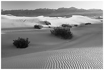 Sand dunes and mesquite bushes, sunrise. Death Valley National Park, California, USA. (black and white)