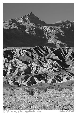 Yellow wildflowers in bloom belows the Armagosa Mountains, late afternoon. Death Valley National Park (black and white)