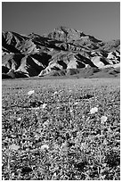 Desert Gold in bloom on flats bellow the Armagosa Mountains, late afternoon. Death Valley National Park ( black and white)