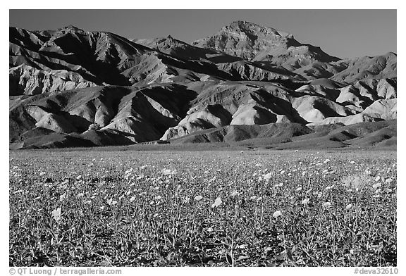 Desert Gold blooming on flats bellow the Armagosa Mountains, late afternoon. Death Valley National Park (black and white)