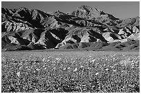 Desert Gold blooming on flats bellow the Armagosa Mountains, late afternoon. Death Valley National Park, California, USA. (black and white)