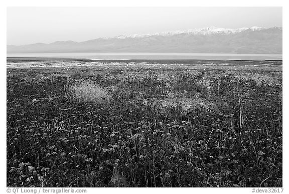 Phacelia and Panamint range at dawn. Death Valley National Park (black and white)