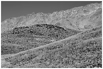 Hills covered with Desert Gold and Smith Mountains, morning. Death Valley National Park, California, USA. (black and white)