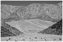 Hills covered with yellow blooms and Smith Mountains, morning. Death Valley National Park, California, USA. (black and white)