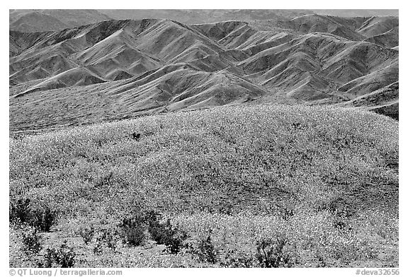 Butte and Owlshead Mountains, dotted with wildflowers. Death Valley National Park (black and white)