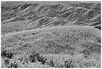 Butte and Owlshead Mountains, dotted with wildflowers. Death Valley National Park, California, USA. (black and white)