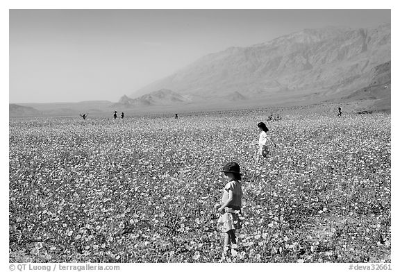 Children in a carpet of Desert Gold near Ashford Mill. Death Valley National Park (black and white)