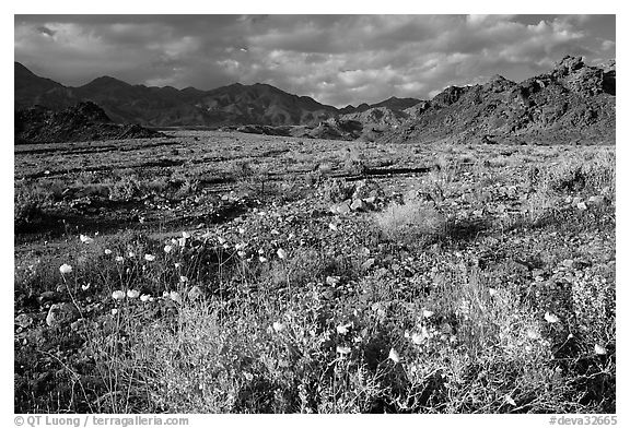 Gravel Ghost wildflowers and Black Mountains below Jubilee Pass, late afternoon. Death Valley National Park (black and white)