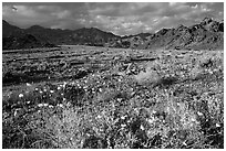 Gravel Ghost wildflowers and Black Mountains below Jubilee Pass, late afternoon. Death Valley National Park ( black and white)