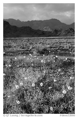 Desert with Gravel Ghost wildflowers and Black Mountains. Death Valley National Park (black and white)