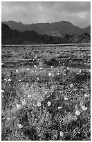 Desert with Gravel Ghost wildflowers and Black Mountains. Death Valley National Park ( black and white)