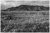 Wildflowers and Black Mountains below Jubilee Pass, late afternoon. Death Valley National Park, California, USA. (black and white)