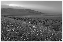 Field of Desert Gold and Owlshead Mountains near Ashford Mill, sunset. Death Valley National Park, California, USA. (black and white)