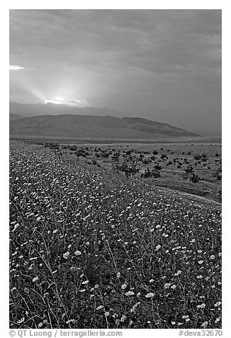 Carpet of Desert Gold and Owlshead Mountains near Ashford Mill, sunset. Death Valley National Park (black and white)