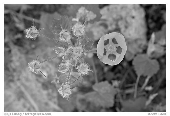Rare Desert Five Spot. Death Valley National Park (black and white)