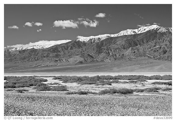 Yellow blooms, creek, and Panamint Range, morning. Death Valley National Park (black and white)