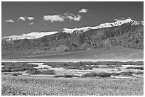 Yellow blooms, creek, and Panamint Range, morning. Death Valley National Park, California, USA. (black and white)