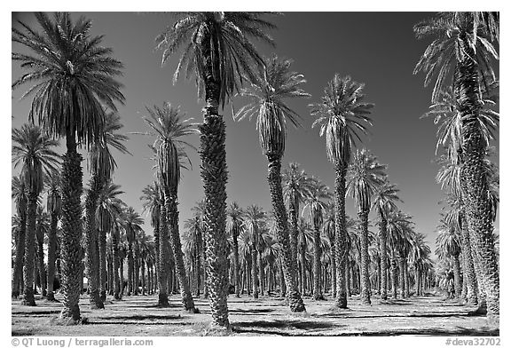 Palm trees in Furnace Creek Oasis. Death Valley National Park (black and white)