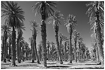 Palm trees in Furnace Creek Oasis. Death Valley National Park, California, USA. (black and white)