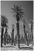 Date Palms in Furnace Creek Oasis. Death Valley National Park, California, USA. (black and white)