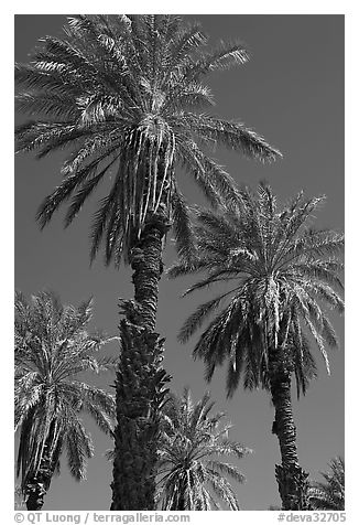 Date palm trees in Furnace Creek Oasis. Death Valley National Park (black and white)