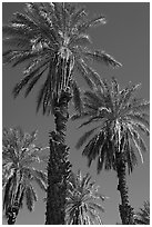 Date palm trees in Furnace Creek Oasis. Death Valley National Park ( black and white)