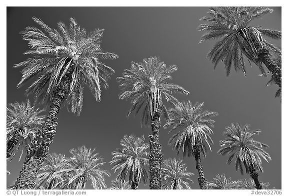 Date trees in Furnace Creek Oasis. Death Valley National Park (black and white)