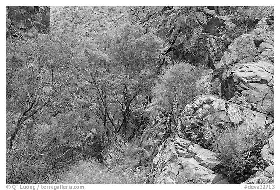 Cottonwoods in Darwin canyon. Death Valley National Park (black and white)