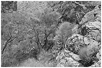 Cottonwoods in Darwin canyon. Death Valley National Park, California, USA. (black and white)