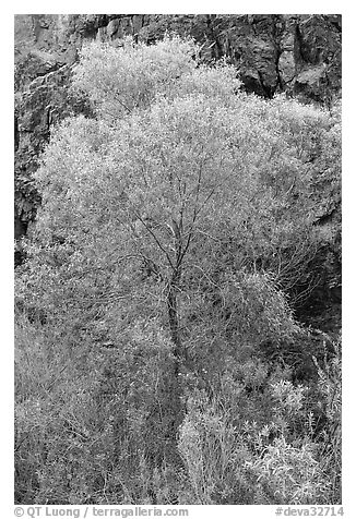 Cottonwood in spring and canyon walls. Death Valley National Park (black and white)