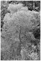 Cottonwood in spring and canyon walls. Death Valley National Park, California, USA. (black and white)