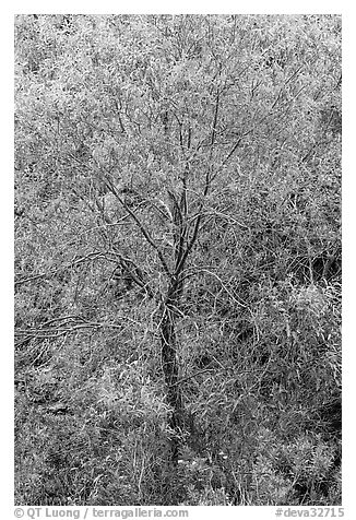 Cottonwood detail. Death Valley National Park (black and white)