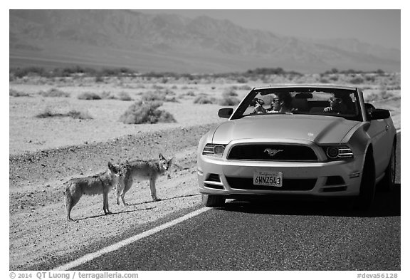 Tourists photograph coyotes from car. Death Valley National Park (black and white)