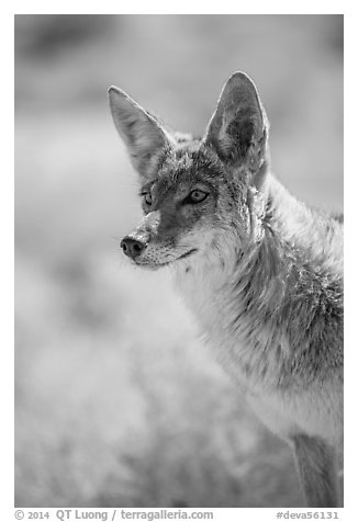 Coyote portrait. Death Valley National Park (black and white)