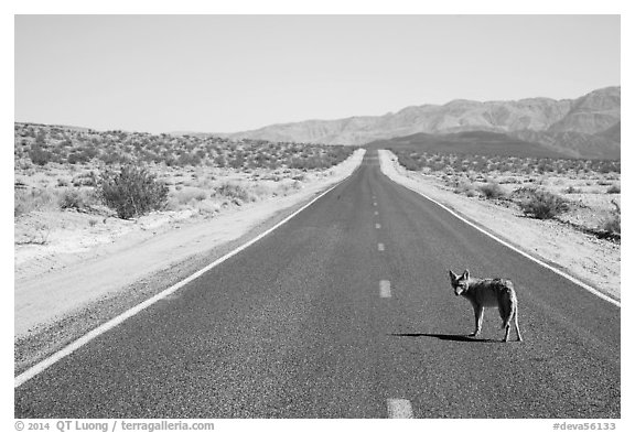 Coyote standing on desert road. Death Valley National Park (black and white)