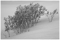 Mesquite growing in sand. Death Valley National Park ( black and white)